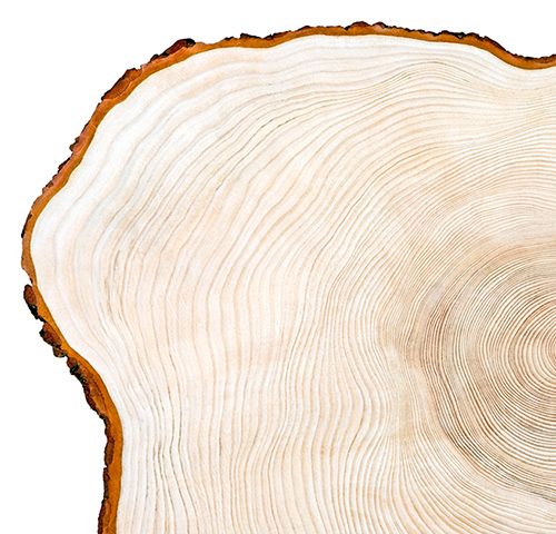 Section of a tree showing age rings